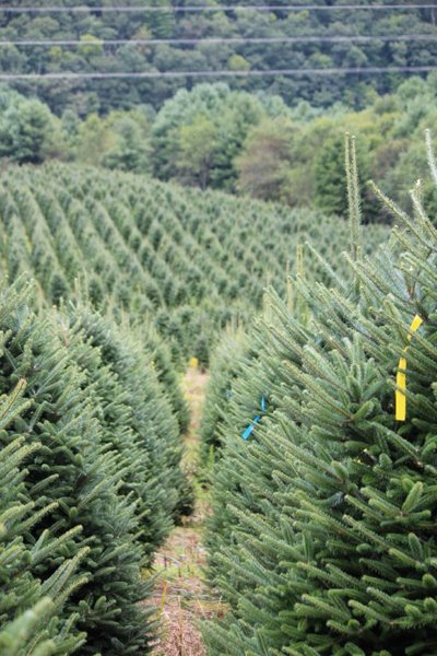 as a believer in a farm fresh american grown real christmas trees hudler tree farm provides additional tech support for your retail success - Christmas Tree Farms In North Carolina
